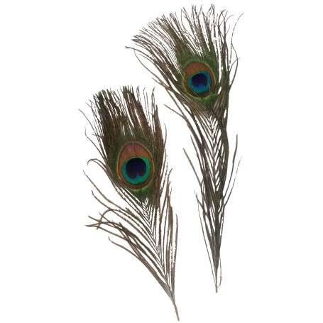 Single Peacock Feathers - 2 piece Pack